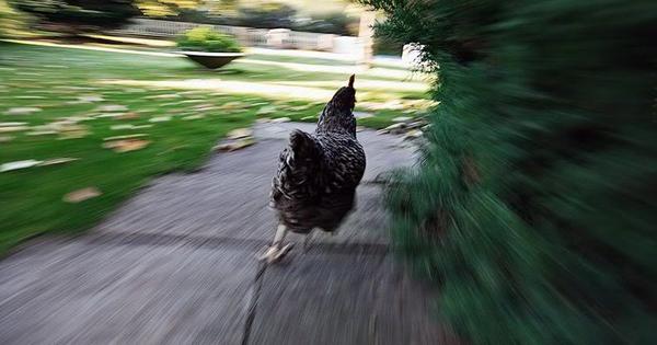 ladrao-galinha-stf
